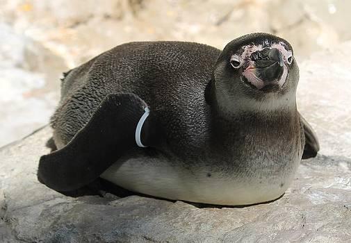 Rebecca Frank - Tanning Penguin
