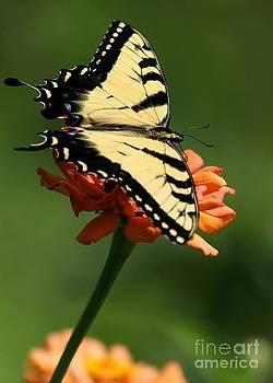 Sabrina L Ryan - Tantalizing Tiger Swallowtail Butterfly