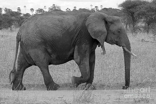 Darcy Michaelchuk - Tarangire Elephant on Road
