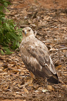 Howard Kennedy - Tawny Eagle