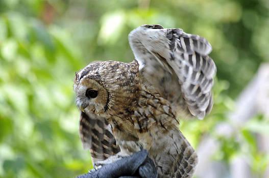 Elaine Mikkelstrup - Tawny Owl