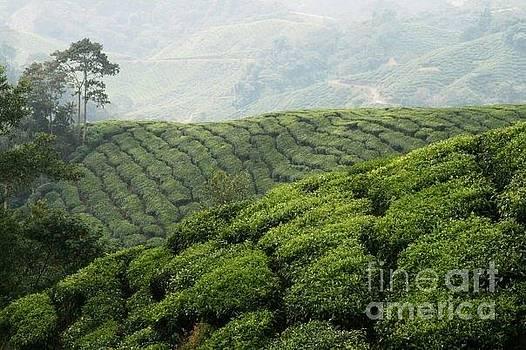 Tea Plantation Malaysia by Carol Wright