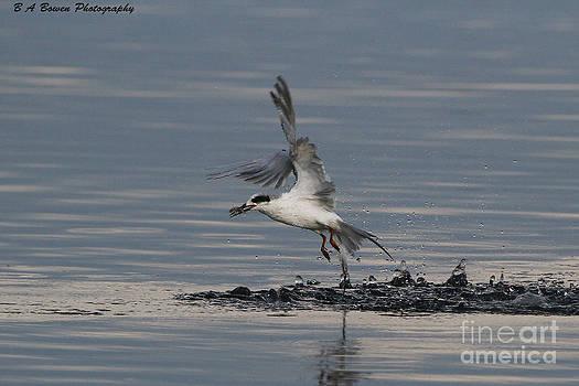 Barbara Bowen - Tern emerging with fish