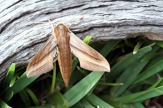 Tersa Sphinx Moth by April Wietrecki Green