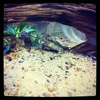 Texas Horned Lizard  by Kristina Parker
