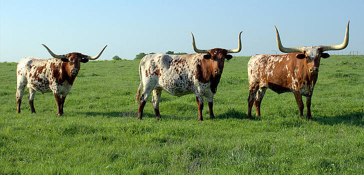 Texas Longhorns by Elizabeth Hart