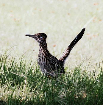 Texas Roadrunner by Rosa Shannon