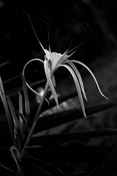 Thai Lily by Darren Strubhar