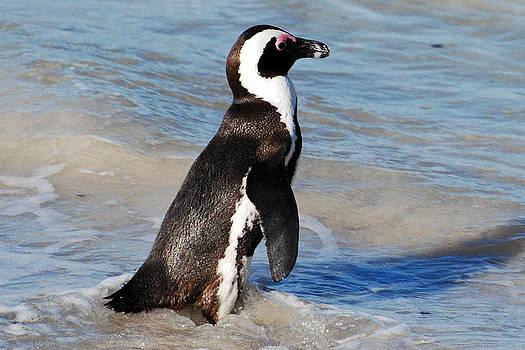 Harvey Barrison - The African Penguin