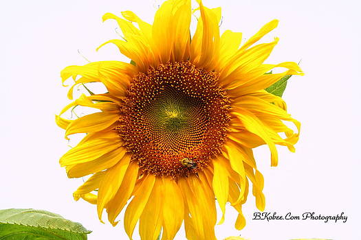 The Bumble Bee and The Sunflower by Beverly Kobee