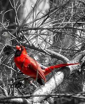 Wayne Stacy - The Cardinal