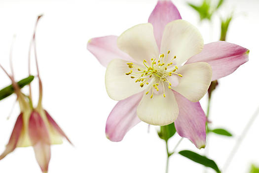 The Columbine by Brad Rickerby