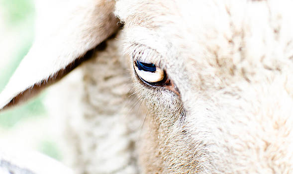 The Eye of a Sheep by Swift Family