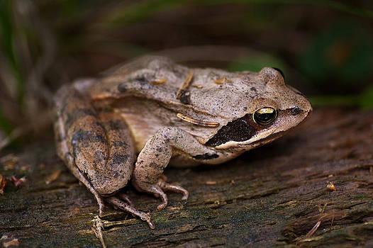 Zoran Buletic - The Frog