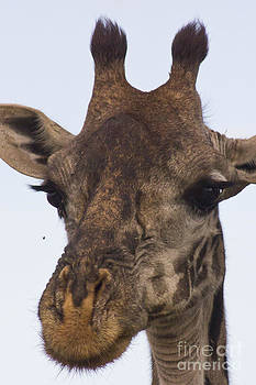 Darcy Michaelchuk - The Giraffe says to the Fly...