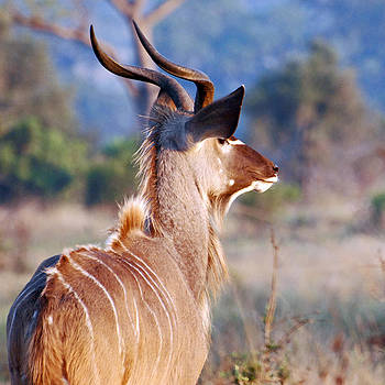 Harvey Barrison - The Greater Kudu at Sunrise