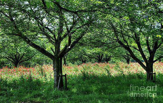The hill where a poppy blooms  by Tad Kanazaki