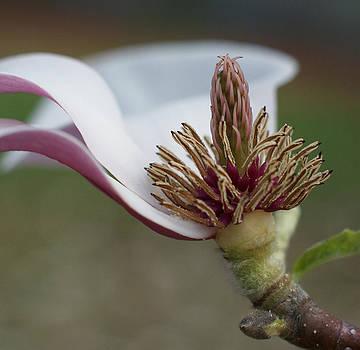 The Last Magnolia by Lynn Vidler