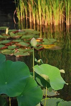 Michelle Cruz - The Lily Pad Pond