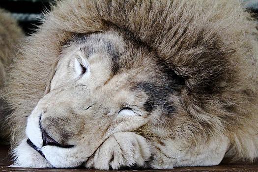 The Lion Sleeps by Elizabeth Hart