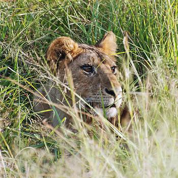 Harvey Barrison - The Lion Waits for . . .