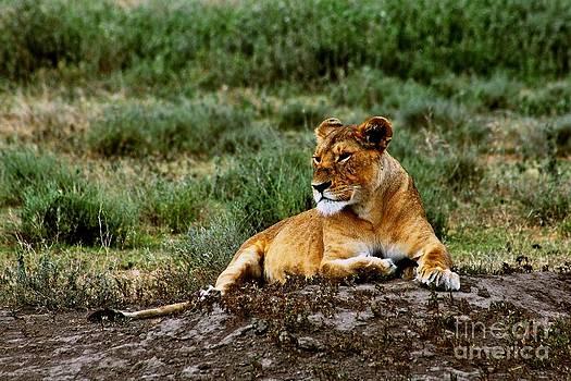 The Lioness by Matthew Keoki Miller