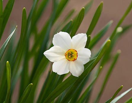 Lara Ellis - The Lone Daffodil