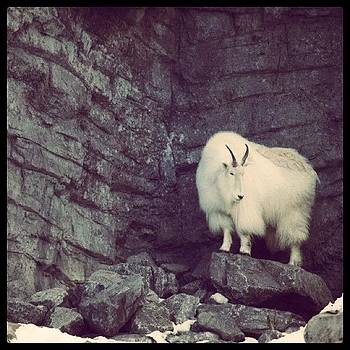 The Lonely Mountain Goat #fuzzy #winter by Krista Hudson