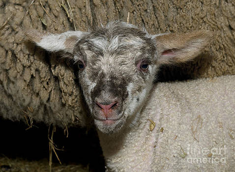 Warren Sarle - The Most Beautiful Newborn Lamb in the World 2