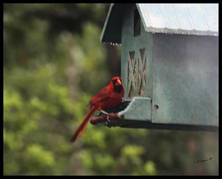 the Northern Cardinal. by Sharon Spade - Kingsbury