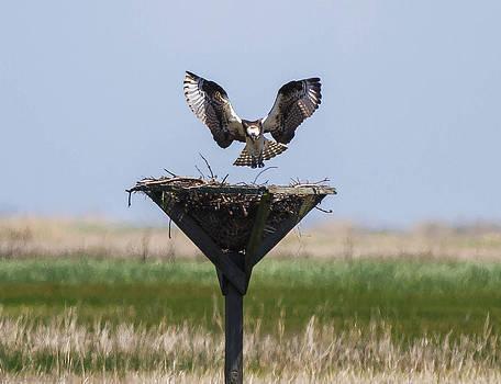 The Osprey has Landed   by Glenn Lawrence