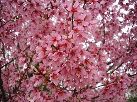 The Pick Cherry Blossoms of Spring by Timothy Jones