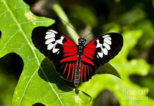 The Postman Butterfly by Brenda Gutierrez Moreno