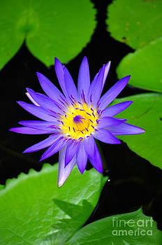 The purple lotus by Tawatchai Sanajai