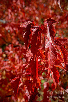 The Red leaves of Autumn by Leaetta Mitchell