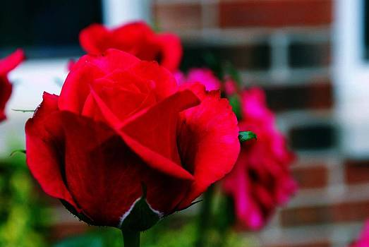 Gary Wonning - The Rose