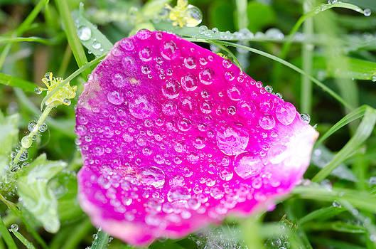 Margaret Pitcher - The Rose Petal