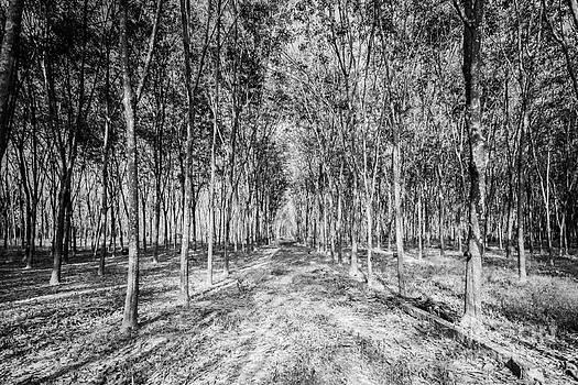 The rubber trees forest. by Wittaya Uengsuwanpanich
