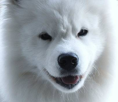 The Samoyed by Lisa  DiFruscio