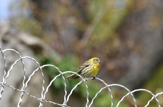 The serin song by Frederic Vigne
