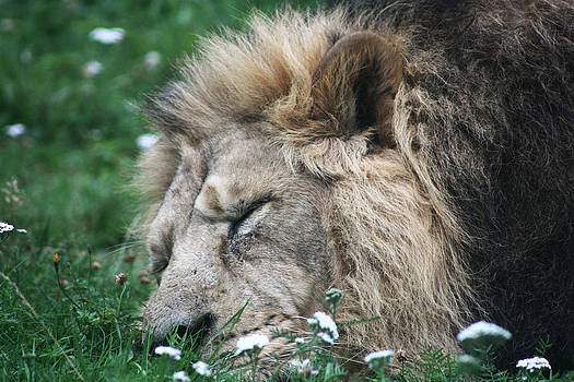 The Sleeping Lion King by Kavitha