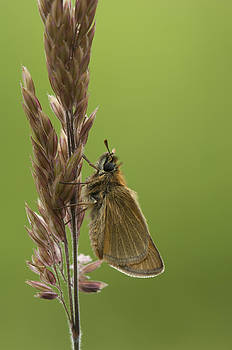 The Small Skipper by Andy Astbury