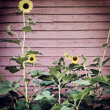 The Sunflower Family by Tina Marie