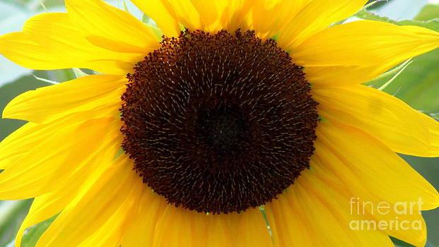 The Sunflower by LillyAnn Venturino