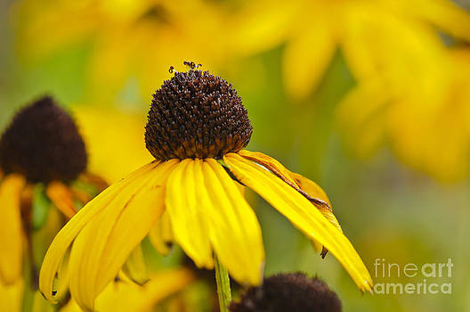 The Sunny Flowers of the Summer... by Christine Kapler