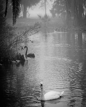The Swans  by George Rey