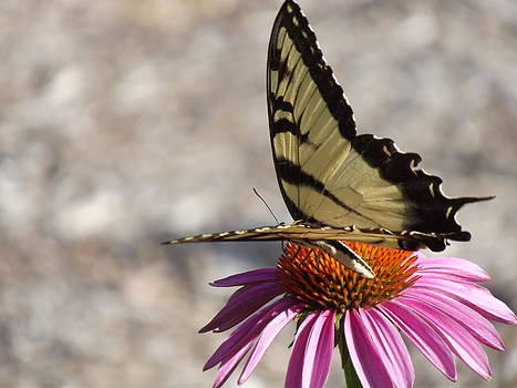 The Tiger Swallowtail by Mamie Thornbrue
