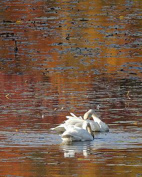 The Trumpeter Swans  by Amalia Jonas