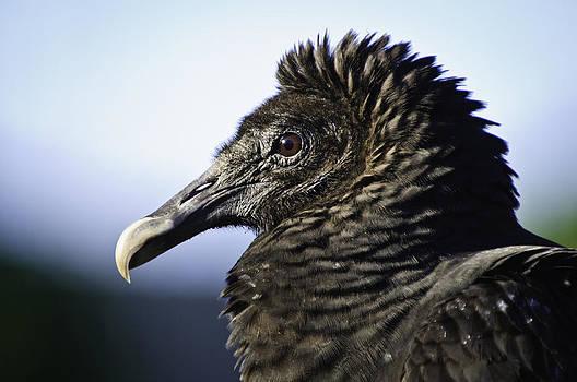 The Vulture by Jose Vazquez