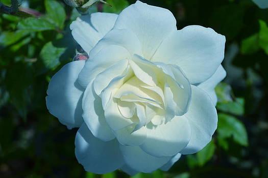 The white rose  by Saifon Anaya